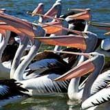 Pelican Feeding The Entrance Central Coast Region NSW
